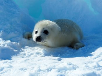 Figure 4. A harp seal pup rests on sea ice. Harp seal pups are born with long white fur that helps them absorb sunlight and stay warm while they're still developing blubber. Pups shed their white fur after about three to four weeks old. Credit: Flickr/laika_ac | High-resolution image
