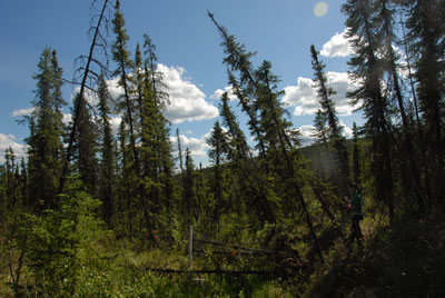 Drunken trees in Alaska