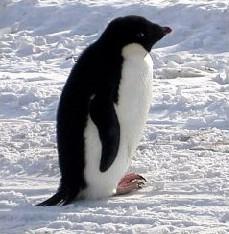 Adéile penguin