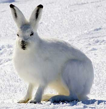 Photograph of an Arctic hare