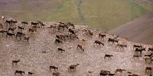 Herd of caribou on a plateau