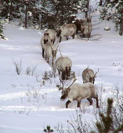A herd of caribou walking single-file through the snow