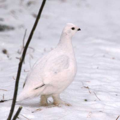 Willow ptarmigan in the snow
