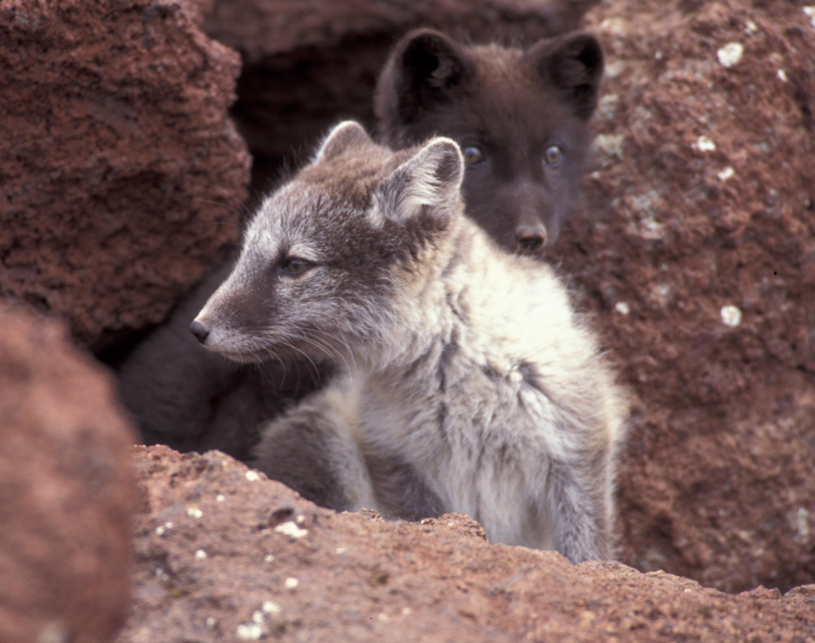 arctic fox animals ground frozen figure young snow ice cryosphere specially adapted nsidc