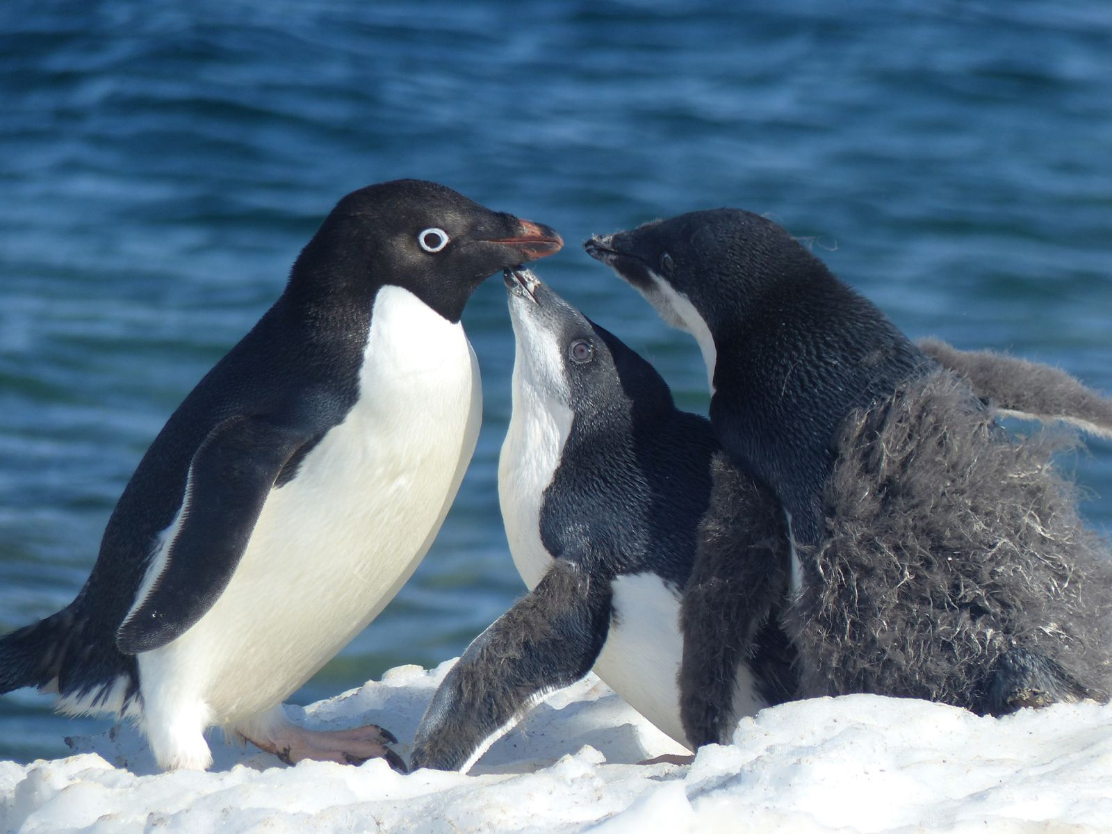 An adult Adélie penguin feeds two young penguins, whose fluffy down has only partially been replaced by adult feathers.