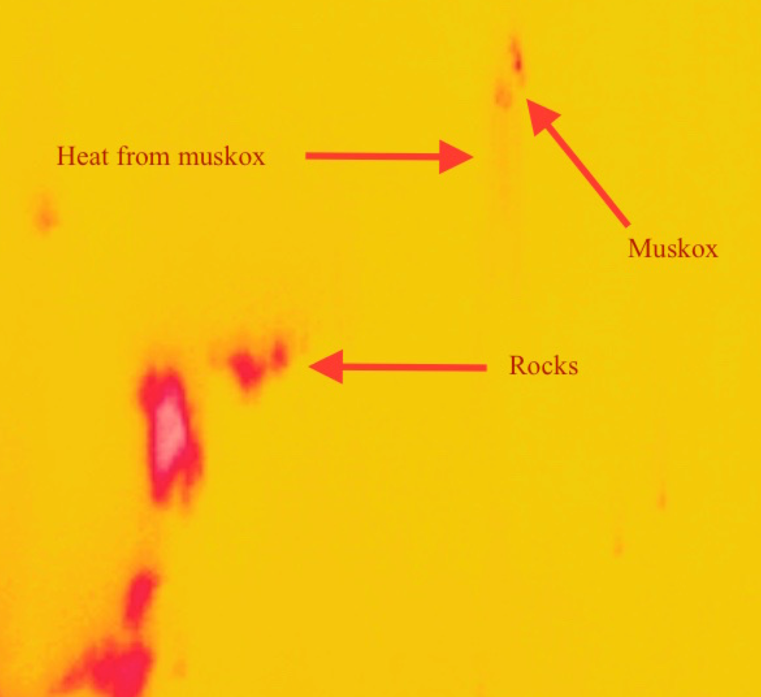 This image shows the combined FLIR and CAMBOT images. Red blurs show heat signatures left by the muskoxen.
