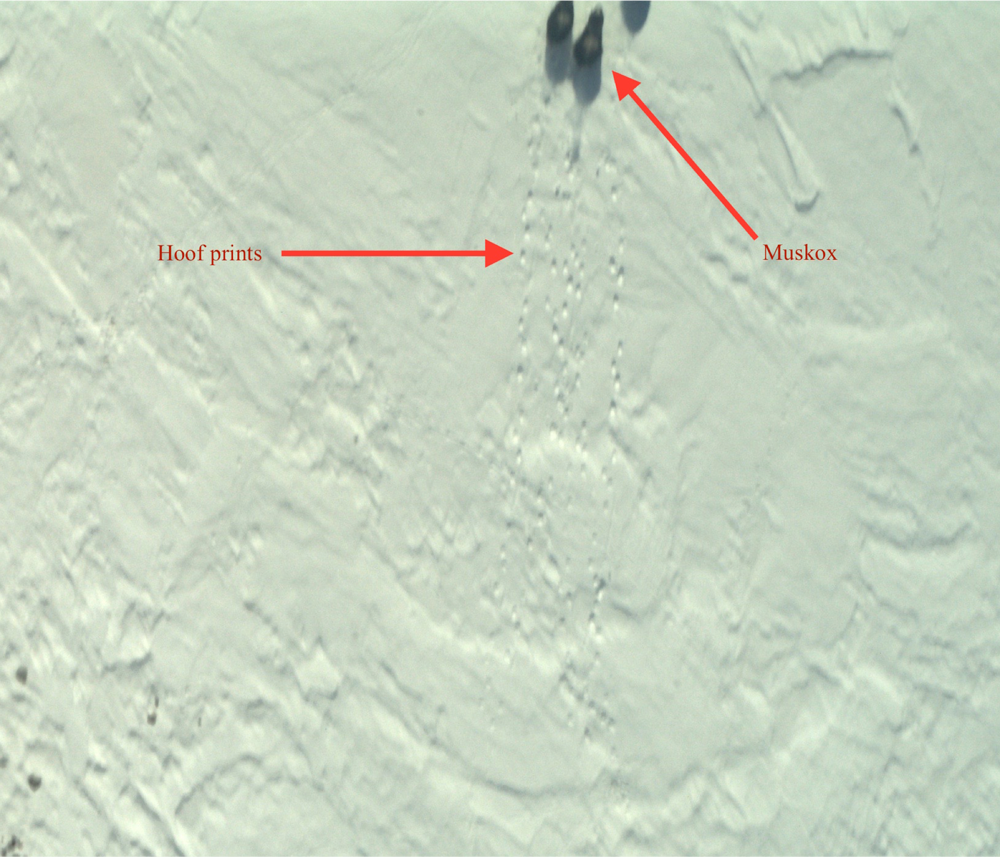 Muskoxen are seen in the upper right edge of the photo with their hoof prints trailing behind. This image was taken by the Continuous Airborne Mapping By Optical Translator (CAMBOT). Credit: NASA IceBridge