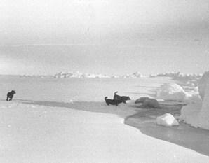 "Dogs provided companionship and entertainment for people living in the station camp, and they also alerted the camp when polar bears were present. Here, dogs are approaching a polar bear as it emerges from a lead (crack) in the ice. Image credit: EWG. (<a href=""/cryosphere/gallery/photo/34094"">View photo detail.</a>) <br>"