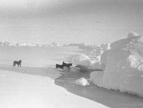 "Here the dogs investigate the polar bear as the polar bear retreats. Image credit: EWG. (<a href=""/cryosphere/gallery/photo/34096"">View photo detail.</a>) <br>"