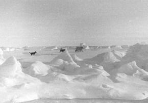 "Beyond the ridges of ice, dogs chase the polar bear, ensuring that it does not approach the camp. Image credit: EWG. (<a href=""/cryosphere/gallery/photo/34098"">View photo detail.</a>) <br>"