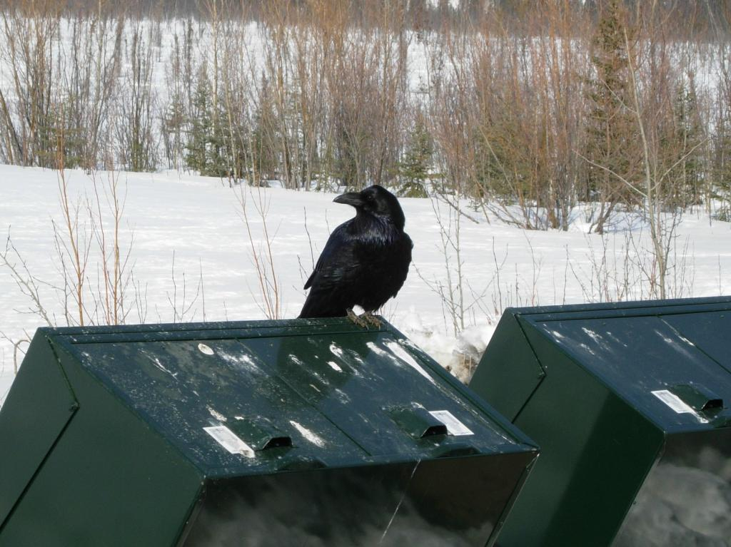 "Ravens are a common sight in Alaska. Image courtesy Mark Serreze, NSIDC. (<a href=""/cryosphere/gallery/photo/33622"">View photo detail.</a>) <br>"