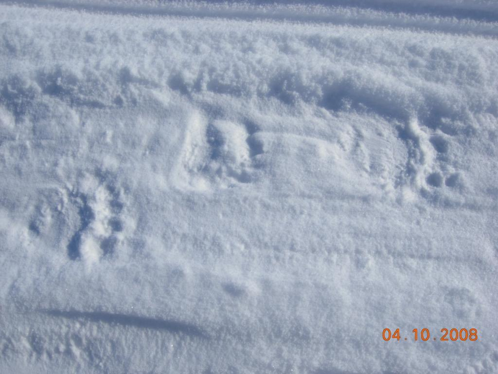"The SnowNet team found polar bear tracks. Image courtesy Mark Serreze, NSIDC. (<a href=""/cryosphere/gallery/photo/33637"">View photo detail.</a>) <br>"