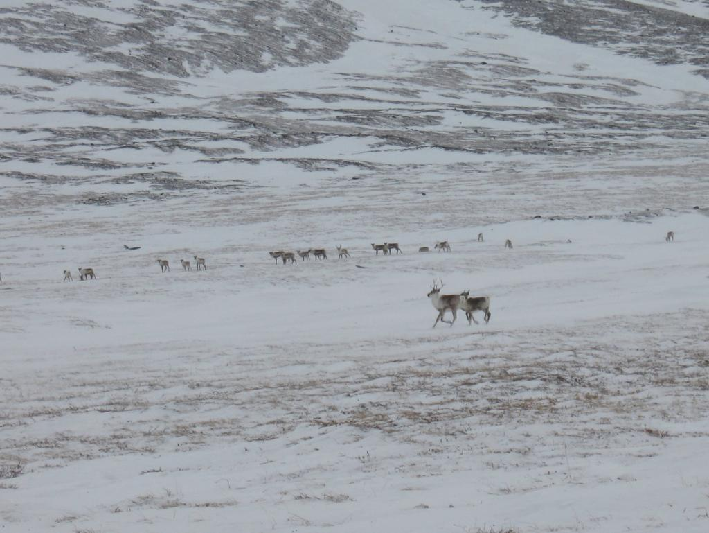 "Caribou pass by on frozen tundra. Image courtesy Andrew Slater, NSIDC. (<a href=""/cryosphere/gallery/photo/33702"">View photo detail.</a>) <br>"