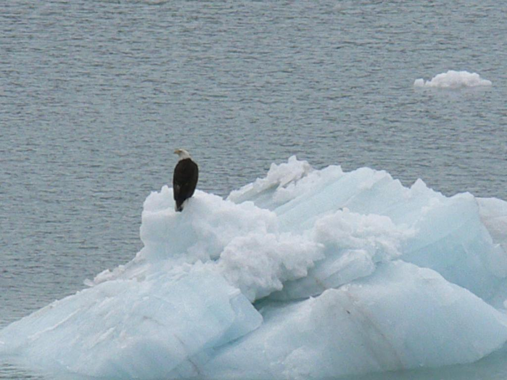 "Bald eagle on some ice in Glacier Bay. Glacier Bay National Park, AK. From ship. Image Credit:  Courtesy Lynn French, NSIDC (<a href=""/cryosphere/gallery/photo/33407"">View photo detail.</a>) <br>"