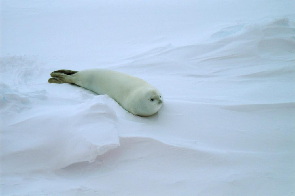 "Along the Antarctic Remote Ice Sensing Experiment (ARISE), the team came across some native Antarctic wildlife; pictured here is the crabeater seal. Photo Credit: NSIDC Courtesy Paul Endersby (<a href=""/cryosphere/gallery/photo/33216"">View photo detail.</a>) <br>"