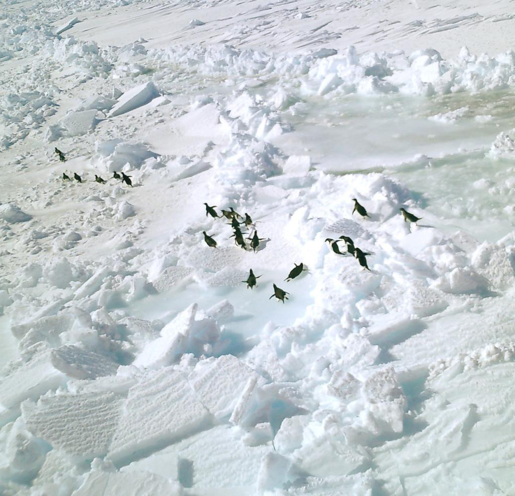 "An aerial view of a gathering of Adelie penguins fleeing from the helicopter above them. PhotoCredit: NSIDC Courtesy Anthony Petty (<a href=""/cryosphere/gallery/photo/33244"">View photo detail.</a>) <br>"
