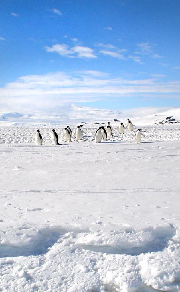 "A group of Adelie penguins trekking down the slope. Image Credit:  Courtesy Ted Scambos and Rob Bauer, NSIDC  <a href=""http://nsidc.org/antarctica/megadunes/"">Megadunes Web site</a> (<a href=""/cryosphere/gallery/photo/33055"">View photo detail.</a>) <br>"