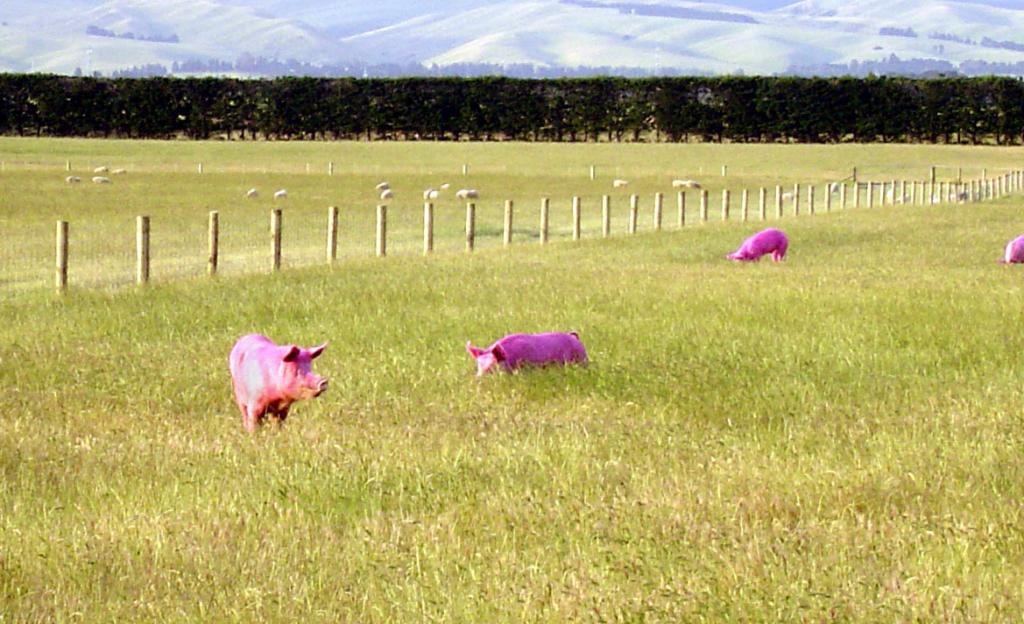 "Pigs grazing on a farm in New Zealand. Image Credit:  Courtesy Ted Scambos and Rob Bauer, NSIDC  <a href=""http://nsidc.org/antarctica/megadunes/"">Megadunes Web site</a> (<a href=""/cryosphere/gallery/photo/33056"">View photo detail.</a>) <br>"