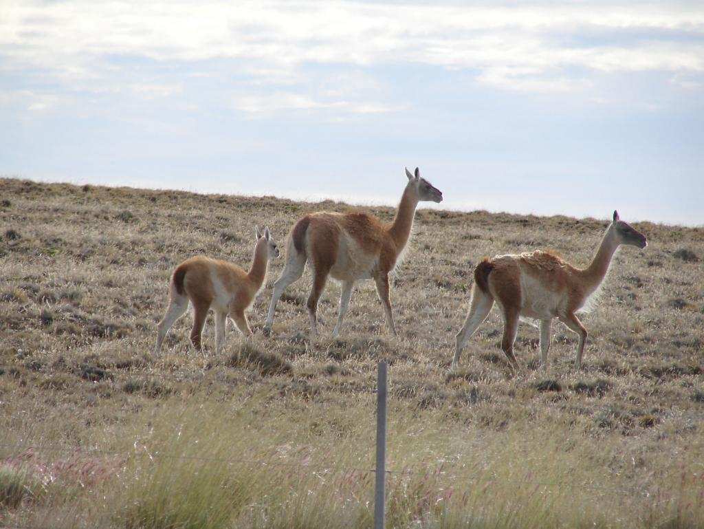 "This small herd of Guanaco, a species similar to the llama, was photographed in Chile. Photo Credit: Courtesy Ted Scambos and Rob Bauer, NSIDC  <a href=""http://nsidc.org/icetrek"">IceTrek Web site</a> (<a href=""/cryosphere/gallery/photo/33333"">View photo detail.</a>) <br>"