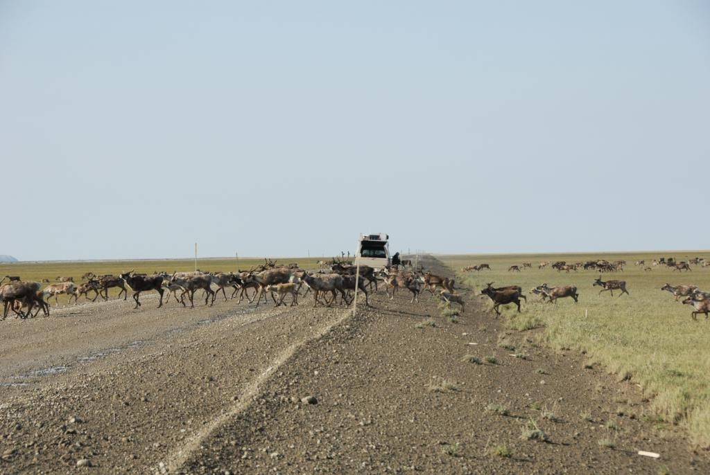 "A herd of several thousand caribou stalled our progress as they crossed the Dalton highway near Deadhorse, Alaska on July 12, 2009. (Credit: Tingjun Zhang, NSIDC) (<a href=""/cryosphere/gallery/photo/34185"">View photo detail.</a>) <br>"