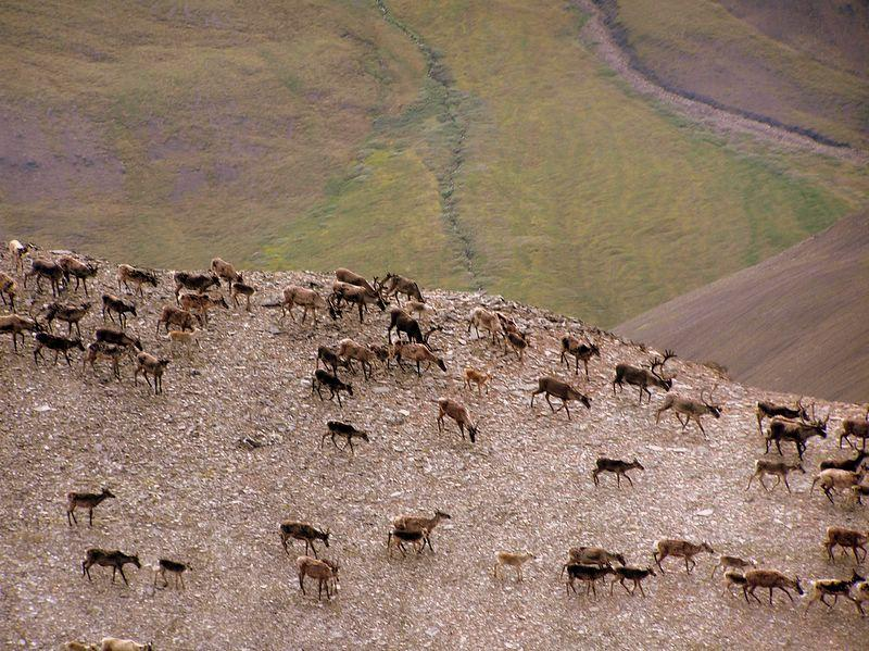 "Areas that contain much permafrost can look barren. But plants and animals prosper here in the summer days, when the top layer of frozen ground thaws. The caribou in this photograph, in the Noatak National Preserve, Alaska, are migrating in the early fall. (<a href=""/cryosphere/gallery/photo/33913"">View photo detail.</a>) <br>"
