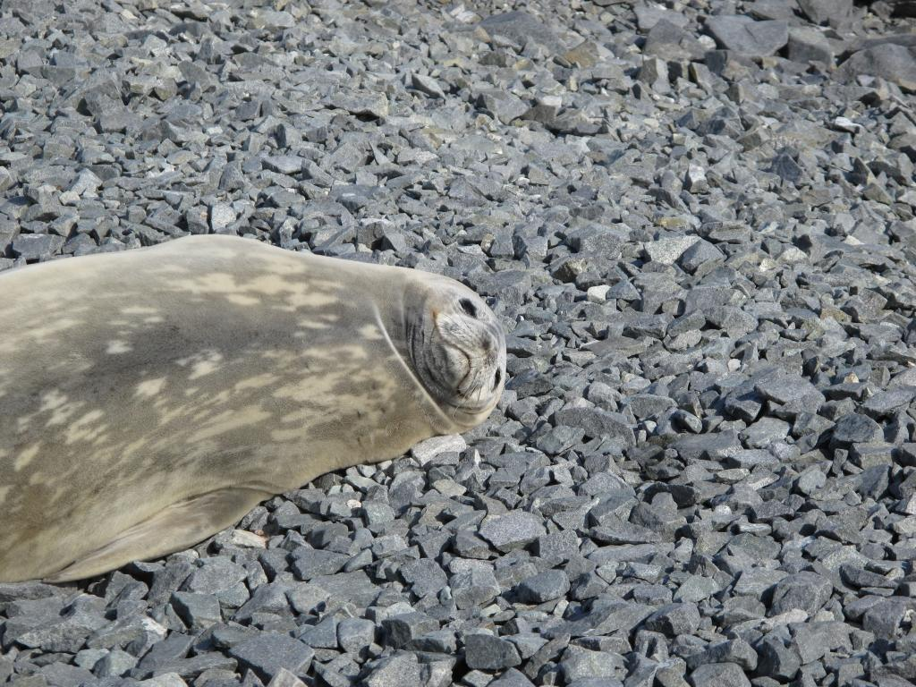"A seal relaxes on a pebble beach in Antarctica (<a href=""/cryosphere/gallery/photo/33932"">View photo detail.</a>) <br>"