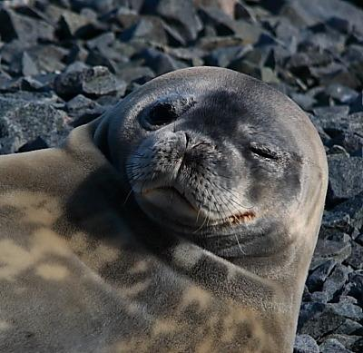 "A seal appears to wink at the camera. (<a href=""/cryosphere/gallery/photo/33947"">View photo detail.</a>) <br>"