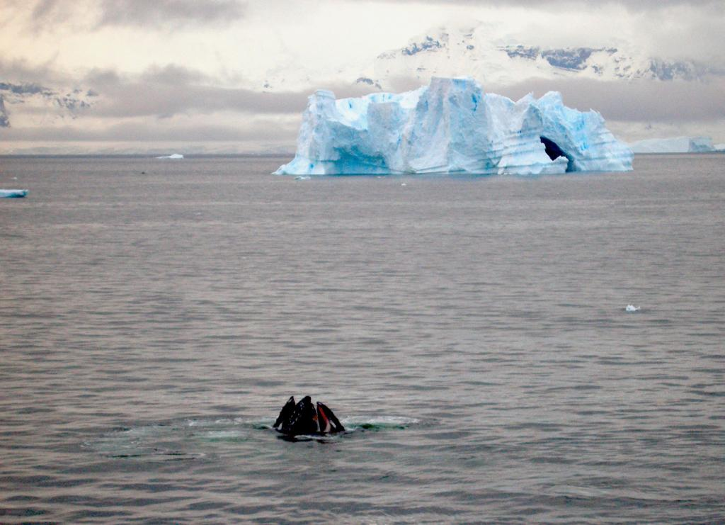 "A whale pokes its mouth out of the ocean, with an iceberg in the background. (<a href=""/cryosphere/gallery/photo/33945"">View photo detail.</a>) <br>"