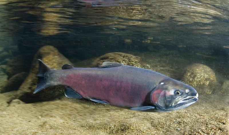 A Chinoook salmon swims in a river